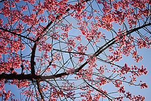 Pink Flower(sakura) Stock Photo - Image: 21234890
