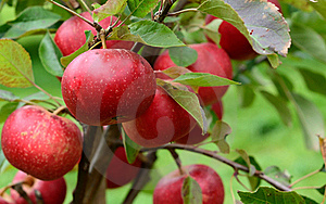 Discovery Apples Stock Images - Image: 21237984