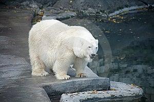 Polar Bear Royalty Free Stock Photography - Image: 21250127