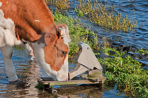 Red Spotted Cow Drinking While Standing In Water Stock Photography - Image: 21252982