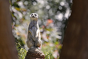 Meerkat Lookout Royalty Free Stock Photo - Image: 21253865
