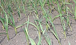 Leek Plants. Stock Photography - Image: 21259362
