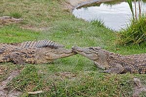 Comforting Crocodiles Stock Photos - Image: 21259473
