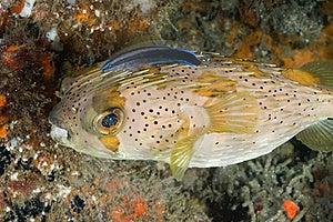 Porcupine Fish Stock Photography - Image: 21260112
