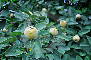 Quince Tree Stock Images - Image: 21274904
