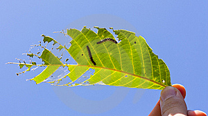Caterpillars Royalty Free Stock Photography - Image: 21291637