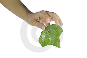 Green Leaf Royalty Free Stock Images - Image: 2131579