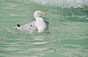 A Seagull Stock Image - Image: 21303911