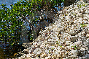 Retaining Wall With Mangroves Royalty Free Stock Photo - Image: 21308265