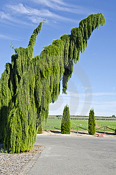 Weeping Sequoia Trees Royalty Free Stock Photo - Image: 21324755