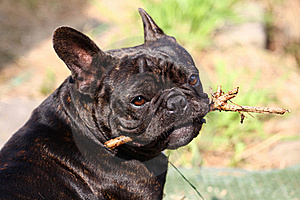 French Bulldog Royalty Free Stock Photo - Image: 21334215