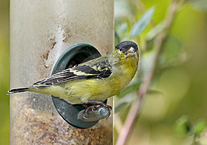 Finch Stock Image - Image: 21341661
