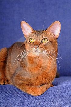 Red Somali Cat Lying On Sofa Royalty Free Stock Image - Image: 21347076