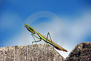 Praying Mantis Royalty Free Stock Photos - Image: 21357808