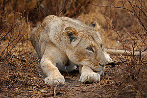 Lioness (Panthera Leo) Stock Images - Image: 21365394