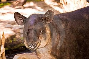Tapir Royalty Free Stock Image - Image: 21370906