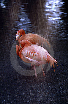 Flamingos In The Rain Stock Photos - Image: 21371223