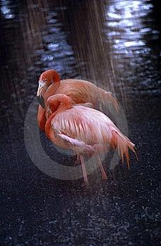 Flamingos In The Rain Stock Photos - Image: 21371223