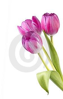 Three Pink Tulip Flowers Isolated Stock Photo - Image: 21372070