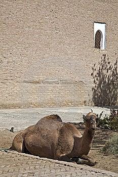 Uzbekistan, The Camel Royalty Free Stock Images - Image: 21374229