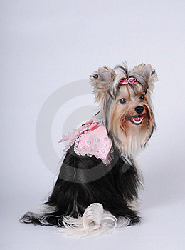 Lovely Biver York Dog Portrait Stock Image - Image: 21378121