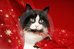 Tuxedo Cat Snuggled In Red Starred Materisl Royalty Free Stock Image - Image: 21379826