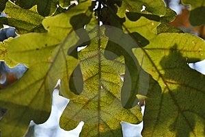 Green Oak Leaves Royalty Free Stock Image - Image: 21387416