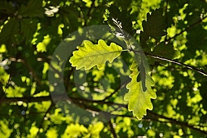 Green Oak Leaves Royalty Free Stock Photos - Image: 21387428