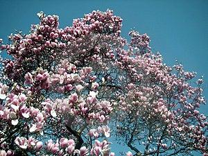 Dynamic Magnolia Tree Stock Images - Image: 2140044