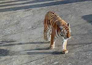 Tiger Walking Stock Image - Image: 2148951