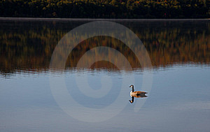 Lonely Goose On The Lake Stock Images - Image: 21400714