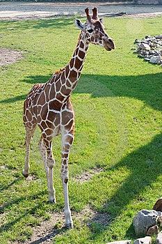 Young Giraffe, Rotterdam Zoo Stock Images - Image: 21406614