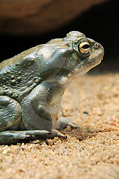 Toad Royalty Free Stock Photos - Image: 21438378