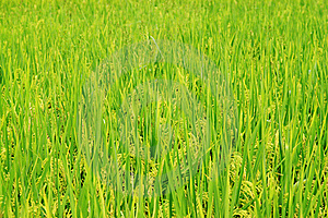 Harvest Rice Field Royalty Free Stock Photo - Image: 21443135
