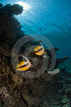 Moorish Idol Royalty Free Stock Photo - Image: 21461405