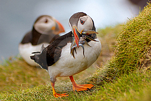 Atlantic Puffin Returning From Fishing Trip Royalty Free Stock Images - Image: 21462269