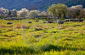 Green Pasture Sheep Stock Photography - Image: 21466612
