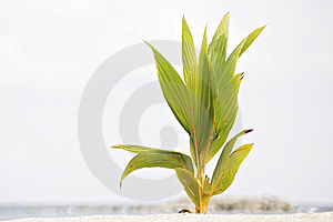 Young Coconut Sprout Royalty Free Stock Photo - Image: 21497635