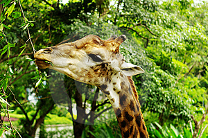 The Giraffe Stock Photography - Image: 21497872