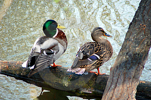 Ducks Couple Royalty Free Stock Image - Image: 2152106