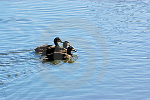 Three Ducks All In A Row Royalty Free Stock Images - Image: 2153889