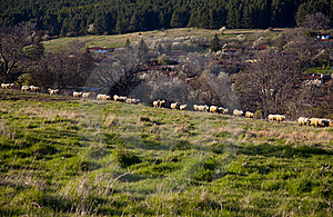 Flock Of Sheep At Pasture Stock Images - Image: 21500004