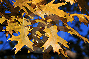 槭树 图库摄影 - 图片: 21504652