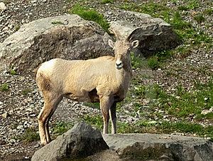 大角羊山岩石绵羊 库存图片 - 图片: 21509224