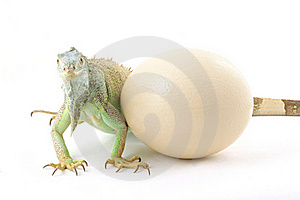 Green Iguana And Ostrich Egg Royalty Free Stock Image - Image: 21515646
