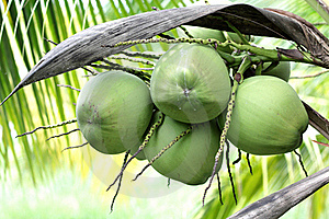 Coconut Stock Images - Image: 21522984