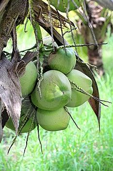 Coconut Stock Photo - Image: 21523090