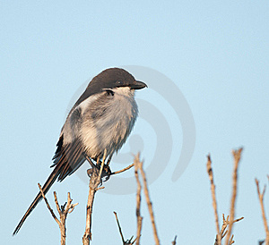 Fiscal Flycatcher Royalty Free Stock Images - Image: 21525629
