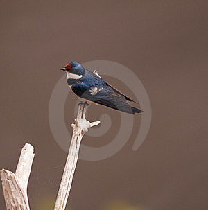 White Throated Swallow Royalty Free Stock Images - Image: 21526939