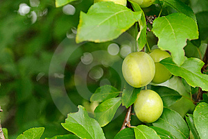 Cherry Plums On Branch Stock Photography - Image: 21555362